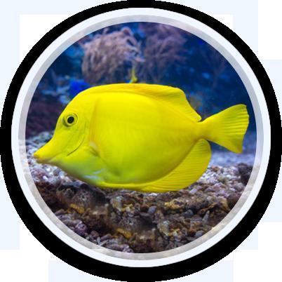Yellow Tang